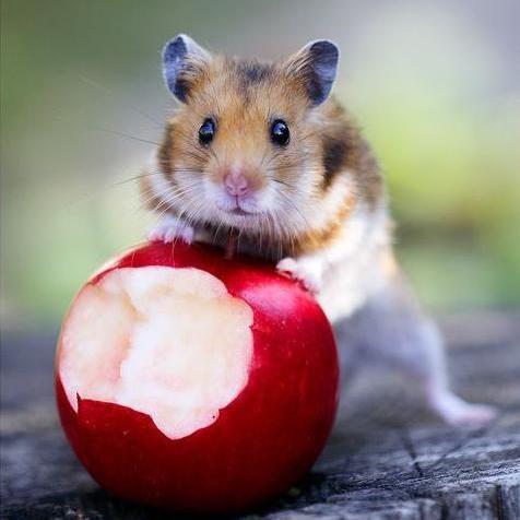 Qué frutas puede comer mi hámster - 8 pasos - unComo