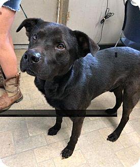 Angola, IN - Labrador Retriever Mix. Meet Donny, a dog for adoption. http://www.adoptapet.com/pet/18518228-angola-indiana-labrador-retriever-mix