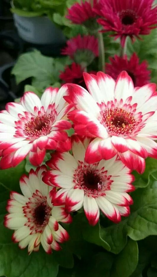 Beautiful red and white daisies. I'd love some of these!