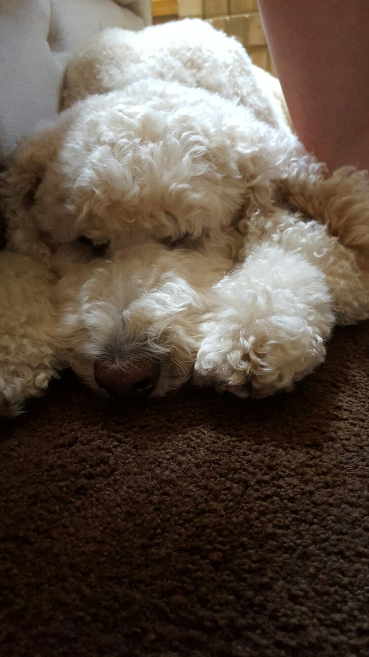 Standard poodle haircuts or of unless soft haircuts standard poodle - Bosley Our Sleepy Standard Poodle