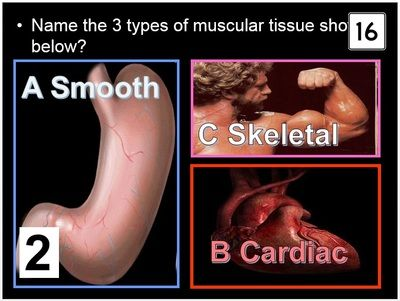 153 best images about anatomy physiology muscular system on, Muscles