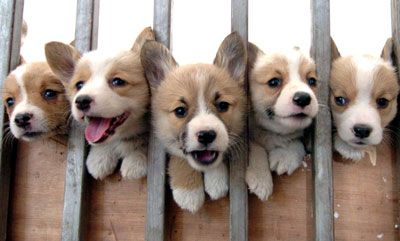 Corgi puppies :3 :3 :3 :3 :3