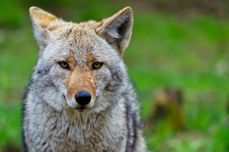 DNR: Coyotes not a threat in Troy