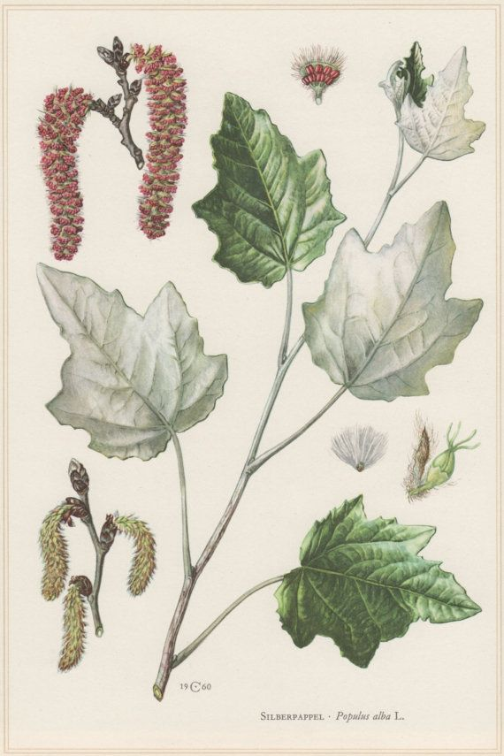 1960 Vintage Botanical Print Populus alba Abele by Craftissimo