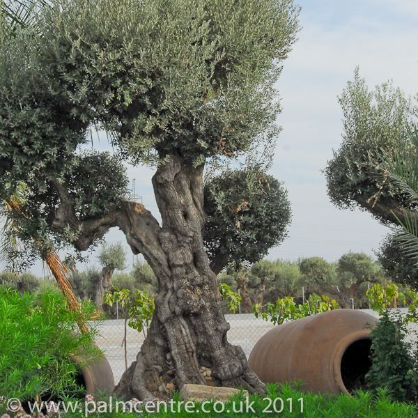 Olive trees for sale From Palm centre. You can grow olives that are edible and useful in the UK! You just have to prepare them right.