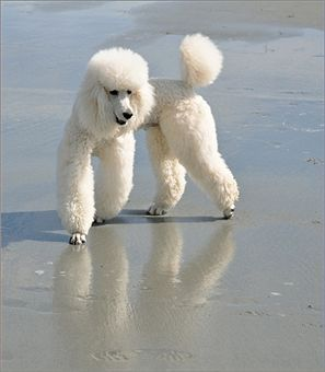 Poodles are cute.