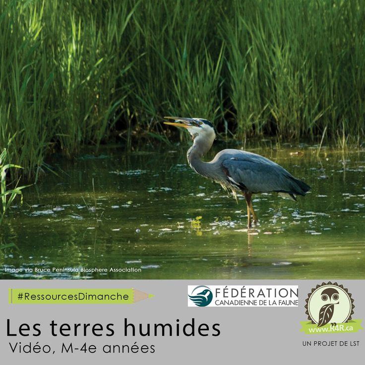Cette semaine, pour #RessourcesDimanche de #R4R.ca, «Les terres humides.» Excellent vidéo pour introduire le rôle et l'importance des terres humides dans l'écosystème aux élèves du primaire. La vidéo informe les jeunes sur les importants concepts de cette biodiversité telle que les animaux qui y vivent, son rôle comme éponge géante et l'impact de l'activité humaine sur les terres humides.