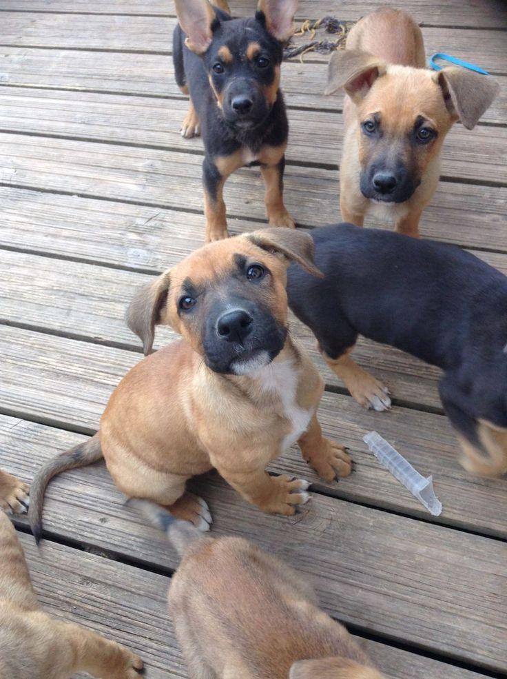 American bulldog x German shepherd for sale | Chatham, Kent | Pets4Homes