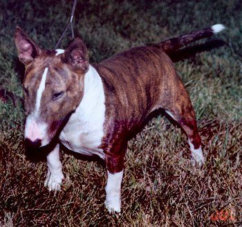 Bull Terriers and Miniature Bull Terriers                                                                                                                                                      More