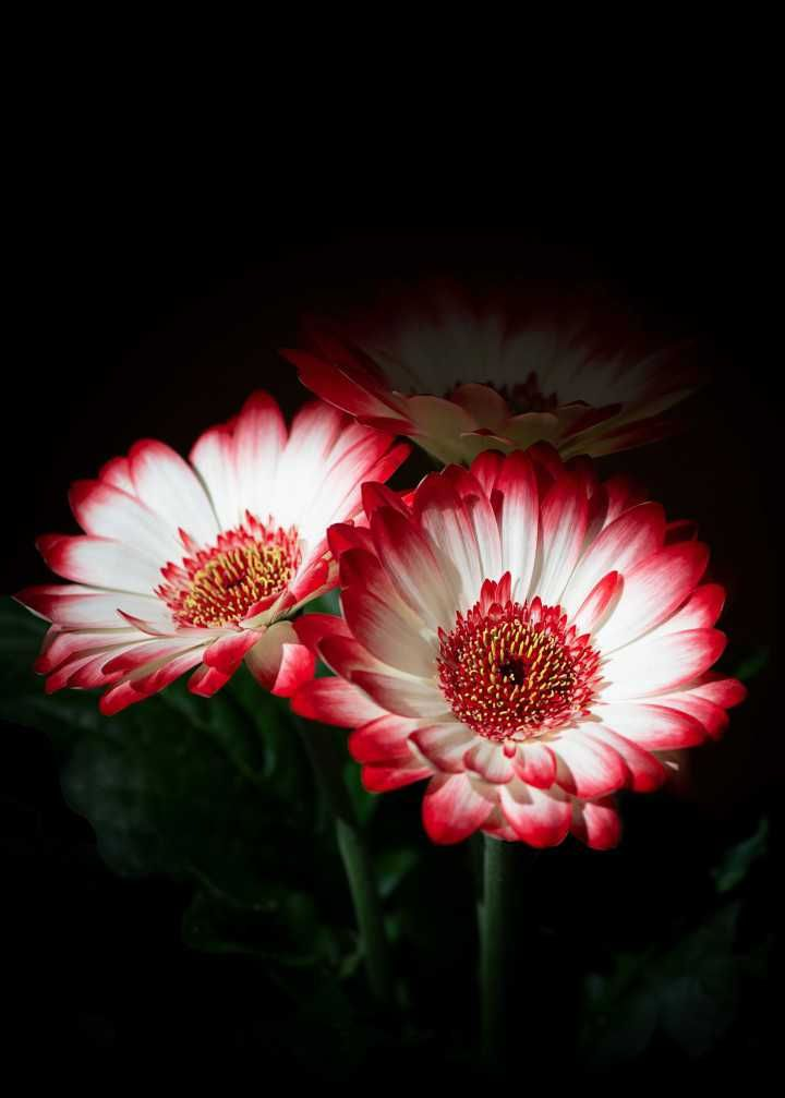 Flowers Red White Plant Nature Photooftheday Beautiful