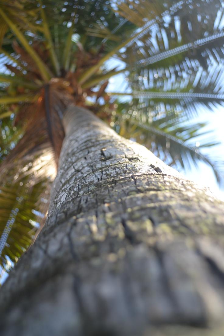 Mozambique Palm Tree