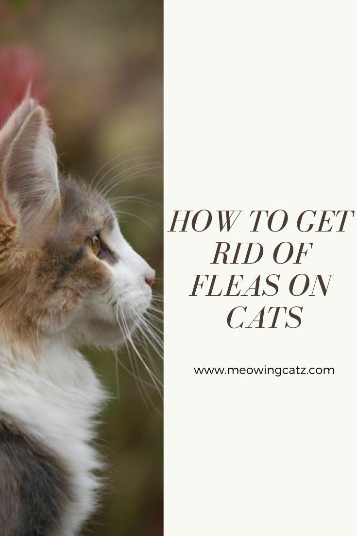 Can You Get Fleas From A Cat How To Get Rid Of Fleas On Cats Cat Fleas Home Remedies For Fleas Flea Remedies