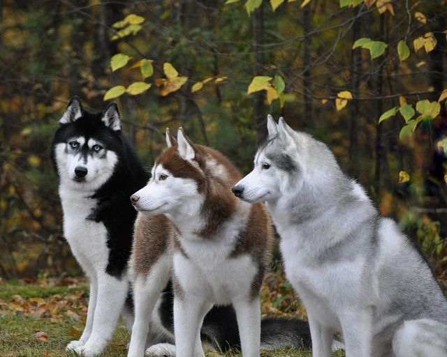 Three huskys, love the black ones eyes! Visit our website now!