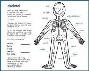 Human Skeleton Diagram For Kids