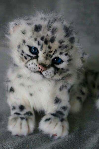 Snow leopard cub..so cute..love that little face..