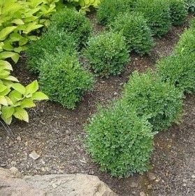 Green Velvet Boxwood – Sheridan Nurseries- for front hedge