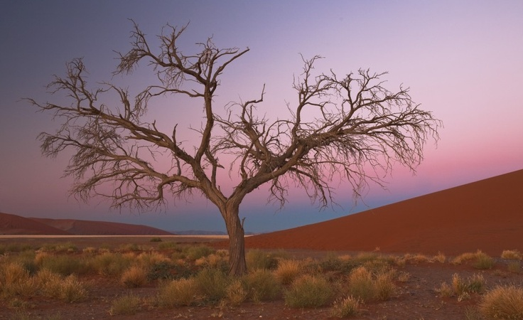 This is a picture of lonely dry almost lifeless tree in Namibia desert. Tags: sand, desert, tree, sunset, Namibia