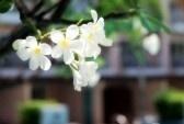 Witte en gele frangipani bloemen in Thailand. stock photography