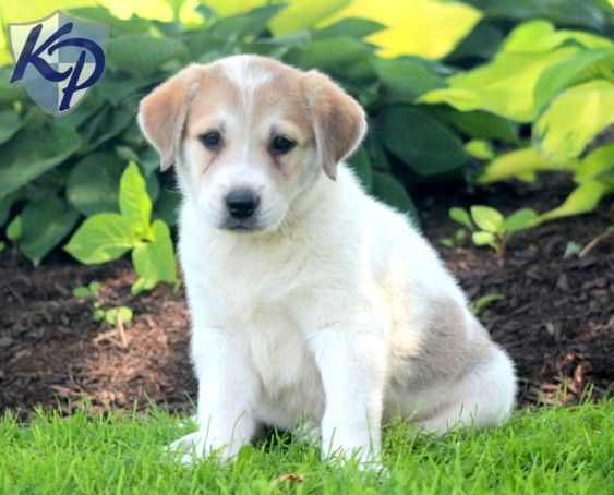 Happy – Akbash Puppy www.keystonepuppies.com  #keystonepuppies #akbash