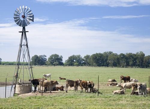 Cattle grazing around windmill on Texas farm.