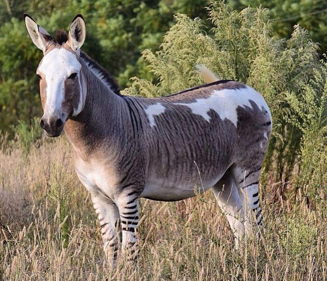 les 924 meilleures images du tableau horses ponies donkeys and mules sur pinterest br sil. Black Bedroom Furniture Sets. Home Design Ideas