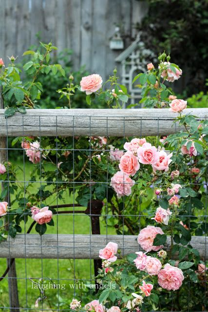 chicken wire on a split-rail fence for climbing roses