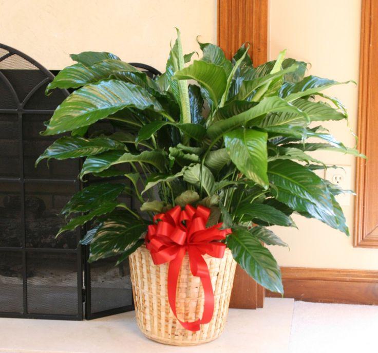 Как украсить комнатные растения к празднику быстро и без вреда
