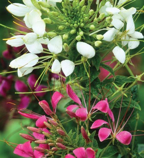 25 best spider flower cleome images on pinterest spider plants image mightylinksfo