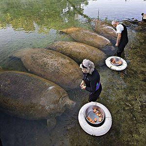 Fabulous Florida Springs | West Central | SouthernLiving.com  HOMOSASSA SPRINGS FEEDING TIME