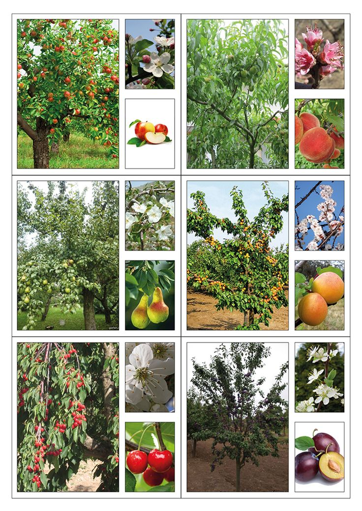 Naučné karty k poznávání ovocných stromů.