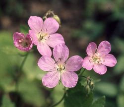 28 best petals five petals images on pinterest native plants geranium maculatum has 5 petals on each blossom that stand 12 to 18 inches and are bright pink and purple wild geranium is commonly found in the mid to low mightylinksfo