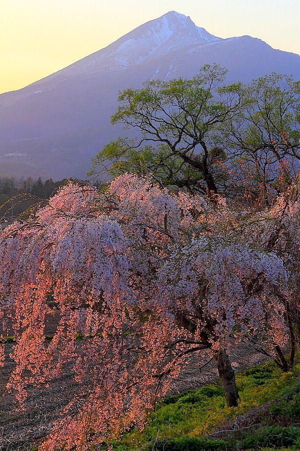 Mt. Bandai and cherry blossoms at sunset, Inawashiro, Fukushima, Japan 磐梯山と桜