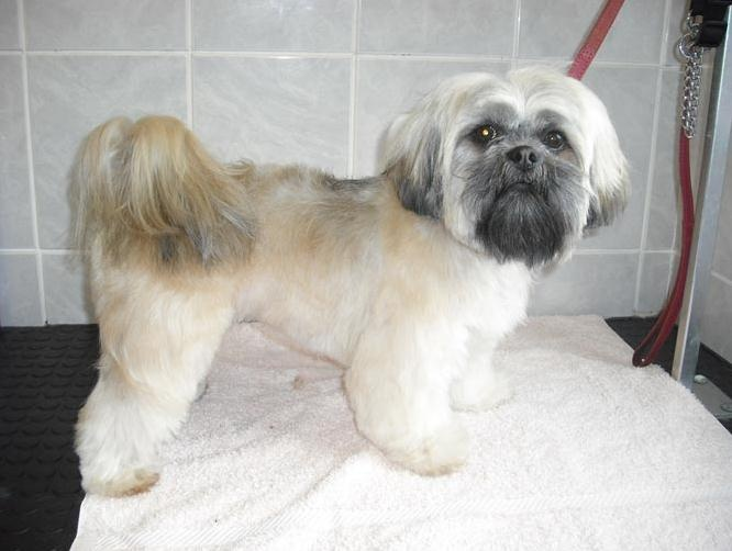 gallery for gt lhasa apso grooming