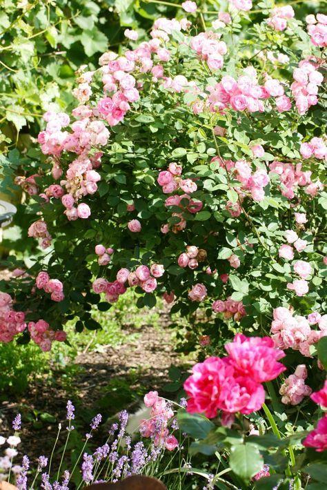 6 wege zu gesunden rosen ohne chemie garten rosen. Black Bedroom Furniture Sets. Home Design Ideas