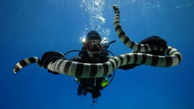 Fishing for deadly sea snakes