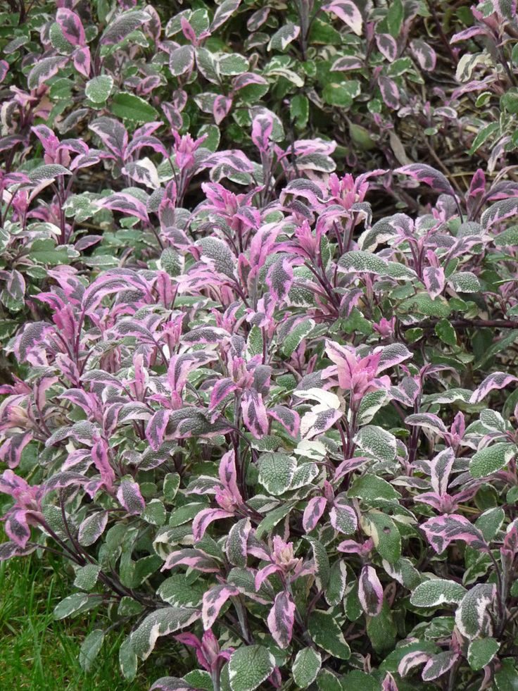 1000 ideas about salvia officinalis on pinterest thyme ideas stepping stone walkways and. Black Bedroom Furniture Sets. Home Design Ideas