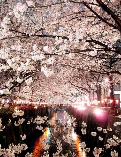 Sakura Japan 夜桜