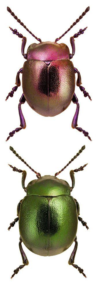 Chrysolina globipennis