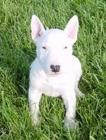 Miniature Bull Terrier Puppies Breeders Bull Terriers