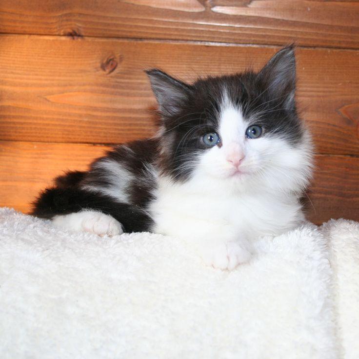 Очень породный мальчик: великолепный профиль, отлично сидящие уши. Окрас - дым с белым. Очень ласковый котенок. На WCF-шоу в составе лучшего помета выставки был дважды признан лучшим котенком в помете.