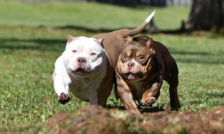 Pocket bully kennel venomline news available puppies for