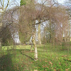 Betula Pendula 'Youngii' - Weeping Birch