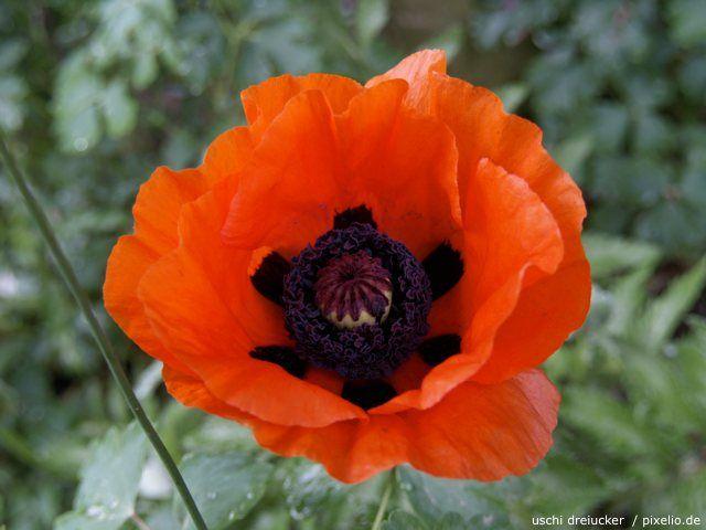 Gartenratgeber  257 best Poppies fields@ images on Pinterest | Poppies, Beautiful ...