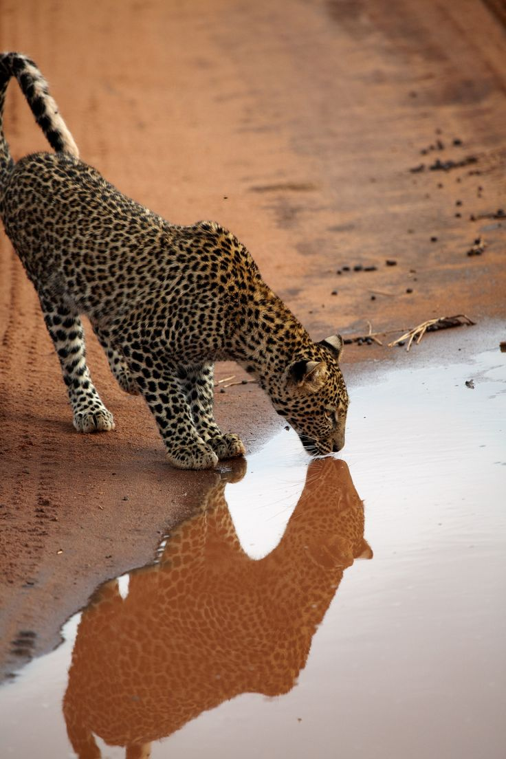 Leopard quenching a thirst at dusk...