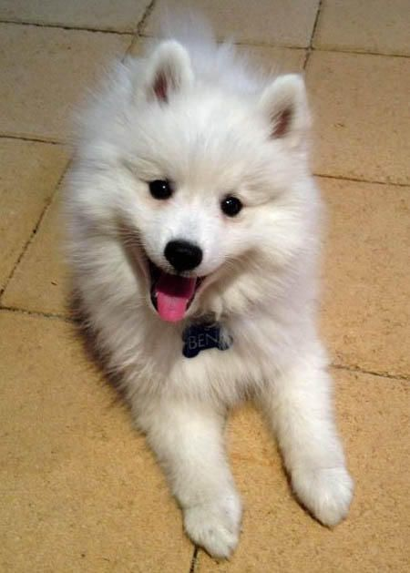 Benji the Japanese Spitz. Look at that smile; too cute!