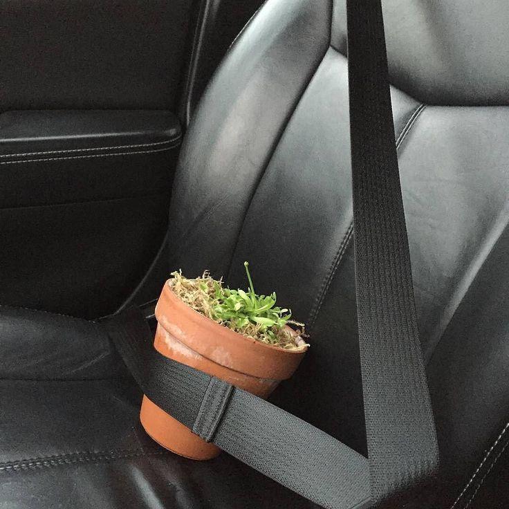 Безопасность прежде всего! Little Derek Jeter is all buckled up for safety. #venusflytrap #flytrap #derekjeter #jeter #buckleup #seatbelt #seatbeltssavelives #plants #plantsitting ( # @c.r.lovern.xxvii )