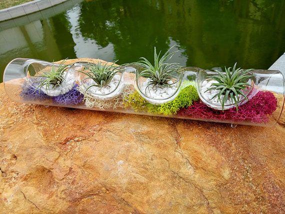 Creativa mesa planta de aire Kit - Tillandsia Ionantha aire plantas con florero de cristal cilíndrico patas, piedras blancas, secas musgo de Reno