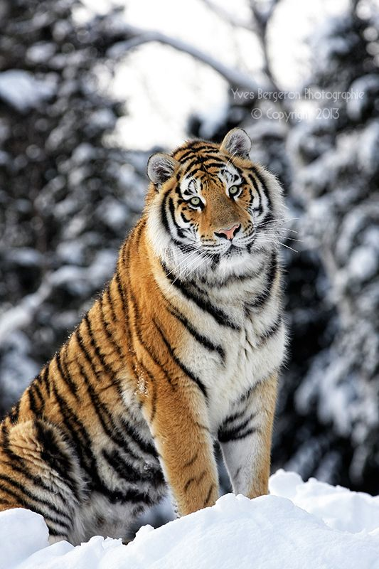 Tiger in the snow by Sagittor