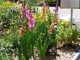Gladiolen im Vorgarten - Susu's Garten-gladiolen.jpg