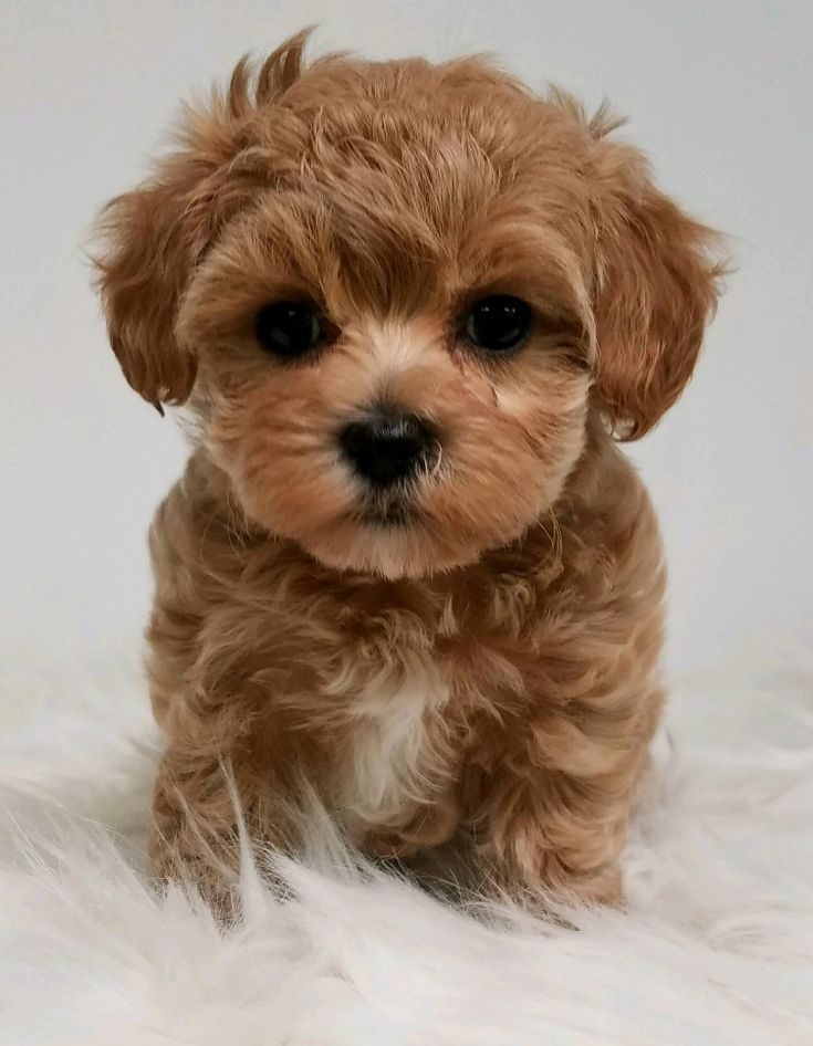 Designer And Mix Puppies Morkies Maltipoos Red Maltipoos